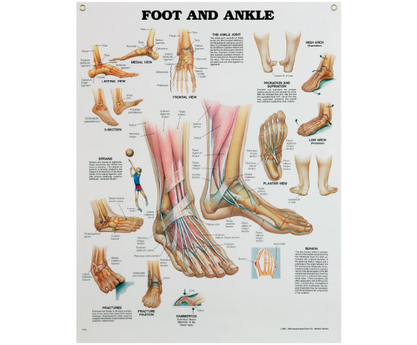 Anatomical Poster Of Foot Ankle As40 1495 Complete Healthcare
