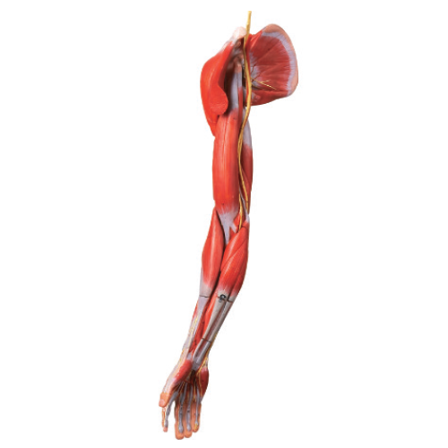 Muscles of Arm with main vessels & nerves Model