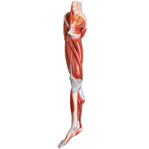 Muscles of the Leg with main vessels & nerves Model