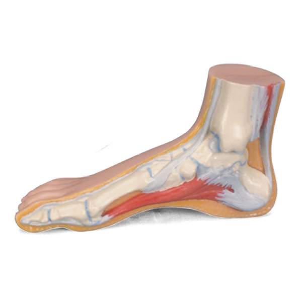 Anatomical Foot Model